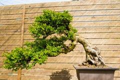 Bonsaiträd för kinesisk alm i solig dag i botanisk trädgård Royaltyfri Fotografi