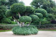 Bonsaiträd, fikusmicrocarpa Royaltyfria Bilder