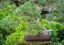Bonsaiträd i mitt av den exotiska trädgården i Tampa Florida Arkivfoton