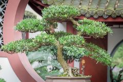 Bonsaiträd mot kinesisk traditionell byggnad arkivfoton