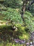 Bonsaiträd på den Ginkakuji silverpaviljongen arkivbilder