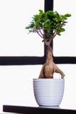 Bonsaiträd på en kontorstabell Royaltyfri Fotografi