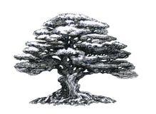 Bonsaiträd som drar Arkivfoto