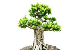 Bonsaiträd som isoleras på vit bakgrund Fotografering för Bildbyråer