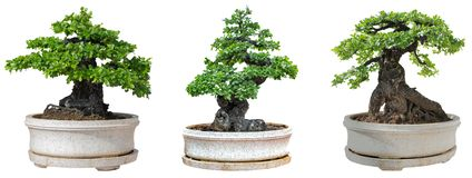 Bonsaiträd som isoleras på vit bakgrund Dess buske är fullvuxen i en kruka eller ett dekorativt träd i trädgården fotografering för bildbyråer
