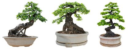 Bonsaiträd som isoleras på vit bakgrund Dess buske är fullvuxen i en kruka eller ett dekorativt träd i trädgården arkivfoton