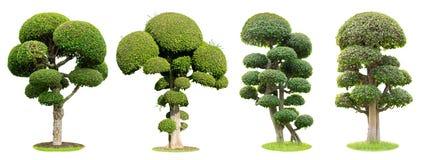 Bonsaiträd som isoleras på vit bakgrund Dess buske är fullvuxen i en kruka eller ett dekorativt träd i trädgården arkivfoto