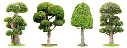 Bonsaiträd som isoleras på vit bakgrund Dess buske är fullvuxen i en kruka eller ett dekorativt träd i trädgården royaltyfri fotografi