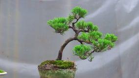 Bonsaiträdet växer i behållare lager videofilmer