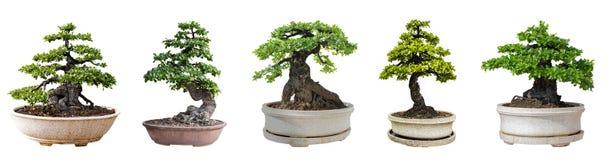 Bonsaitr?d som isoleras p? vit bakgrund Dess buske ?r fullvuxen i en kruka eller ett dekorativt tr?d i tr?dg?rden fotografering för bildbyråer