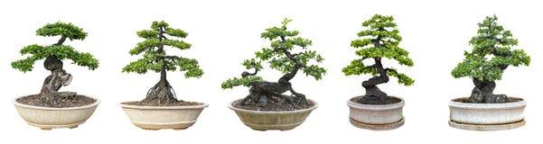 Bonsaitr?d som isoleras p? vit bakgrund Dess buske ?r fullvuxen i en kruka eller ett dekorativt tr?d i tr?dg?rden arkivfoton