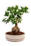 Bonsaiträd i keramisk kruka Royaltyfri Bild
