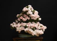 bonsaiväxt royaltyfria bilder
