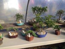 Bonsaiväxter Fotografering för Bildbyråer