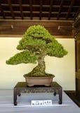 Bonsaiv?xtutst?llning p? Meiji Shrine arkivbilder