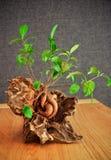 Bonsaivijgeboom in de oude wortel wordt geplant die stock afbeelding