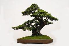 bonsaiyaccatree Royaltyfri Foto