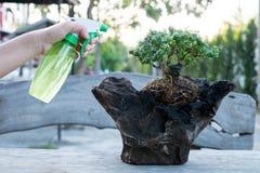 Bonsaizorg en het neigen van de houseplant groei Water gevende kleine boom De Concepten van de boombehandeling royalty-vrije stock afbeeldingen