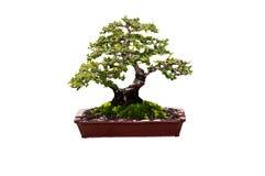 Bonsi är treen av konst Royaltyfria Foton
