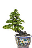 Bonsi tree. A bonsai tree in ceramic pot on weight background stock image