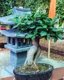 Bonsia-Baum Stockbilder
