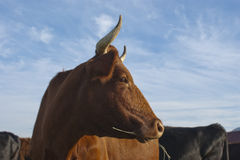 Bonsmara cow Royalty Free Stock Images