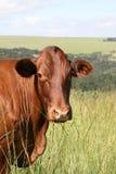 bonsmara krowa Zdjęcia Stock