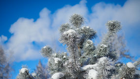 Bont-boom tak met ijs Stock Foto