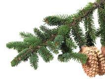Bont-boom tak met strobile Royalty-vrije Stock Afbeeldingen