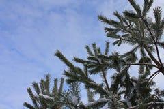 Bont-boom takken met sneeuw Stock Afbeelding