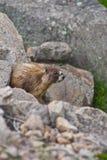 Bont Bruine Marmot Royalty-vrije Stock Foto's