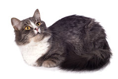 Bont grijze kat Stock Afbeelding