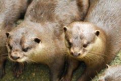 Bont Otters Royalty-vrije Stock Afbeeldingen