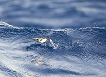 Bont Stormvogeltje, pétrel au visage pâle, marina de Pelagodroma photos libres de droits
