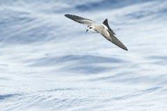 Bont Stormvogeltje, Tempête-pétrel au visage pâle, marina de Pelagodroma photographie stock libre de droits
