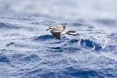 Bont Stormvogeltje, Tempête-pétrel au visage pâle, marina de Pelagodroma photo stock