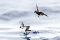Bont Stormvogeltje, Tempête-pétrel au visage pâle, marina de Pelagodroma photos libres de droits
