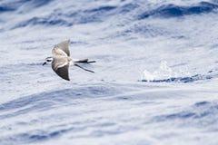 Bont Stormvogeltje, Tempête-pétrel au visage pâle, marina de Pelagodroma images libres de droits