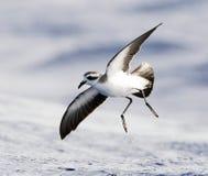 Bont Stormvogeltje, Tempête-pétrel au visage pâle, marina de Pelagodroma image libre de droits