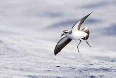 Bont Stormvogeltje, Tempête-pétrel au visage pâle, marina de Pelagodroma photographie stock