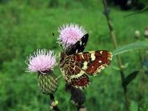Bont vlinder op de bloem Stock Fotografie
