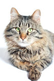Bont volwassen kat Royalty-vrije Stock Afbeeldingen