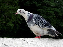 Bont witte duif Royalty-vrije Stock Foto