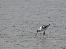 Bonte avocet, Recurvirostra-avosetta, in mudflats royalty-vrije stock afbeelding