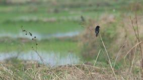 Bonte bushchatvogel die en op het padiegebied rusten vliegen stock video