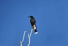 Bonte currawong boven op een boom stock fotografie