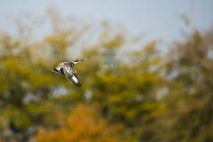 Bonte Ijsvogel Stock Foto