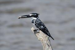 Bonte Ijsvogel Royalty-vrije Stock Foto's