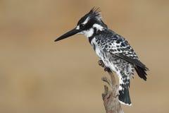 Bonte Ijsvogel Royalty-vrije Stock Foto