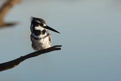 Bonte Ijsvogel Royalty-vrije Stock Afbeeldingen
